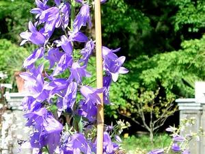 European Bellflower