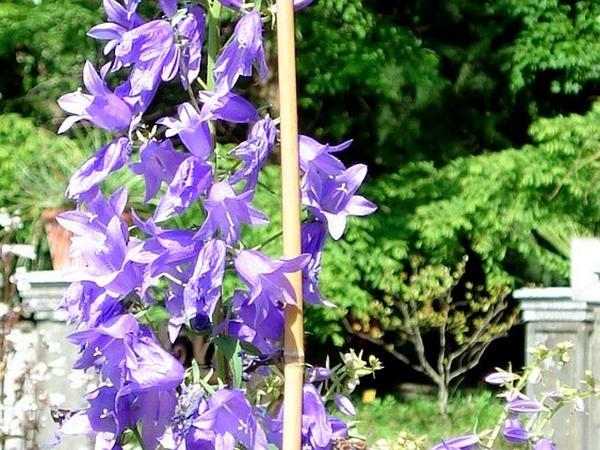 European Bellflower (Campanula Bononiensis) http://www.sagebud.com/european-bellflower-campanula-bononiensis/