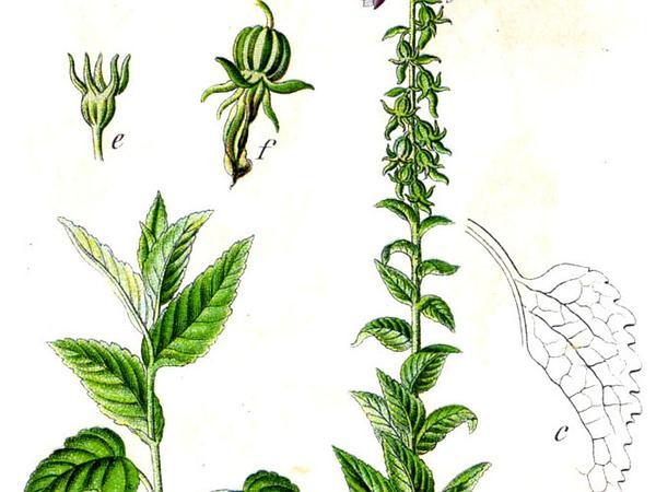 European Bellflower (Campanula Bononiensis) http://www.sagebud.com/european-bellflower-campanula-bononiensis