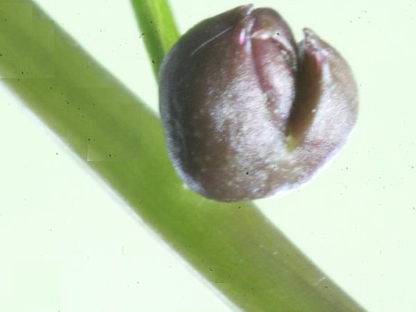 Coralroot Bittercress (Cardamine Bulbifera) http://www.sagebud.com/coralroot-bittercress-cardamine-bulbifera