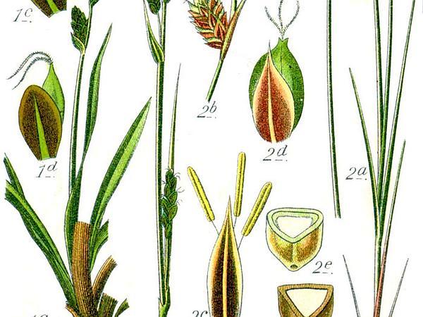 Buxbaum's Sedge (Carex Buxbaumii) http://www.sagebud.com/buxbaums-sedge-carex-buxbaumii