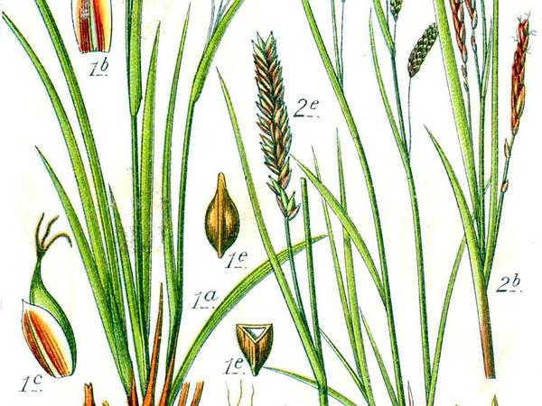 Hair-Like Sedge (Carex Capillaris) http://www.sagebud.com/hair-like-sedge-carex-capillaris/