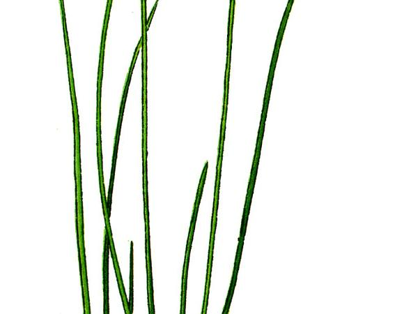 Capitate Sedge (Carex Capitata) http://www.sagebud.com/capitate-sedge-carex-capitata
