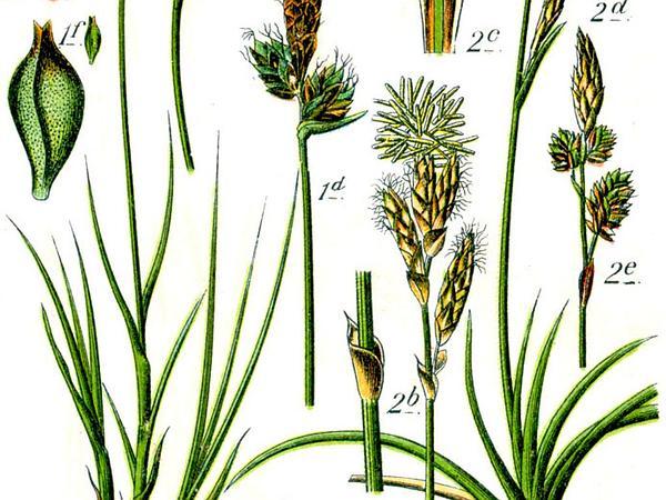 Vernal Sedge (Carex Caryophyllea) http://www.sagebud.com/vernal-sedge-carex-caryophyllea