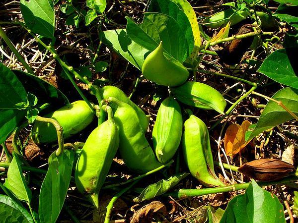 Maunaloa (Canavalia Cathartica) http://www.sagebud.com/maunaloa-canavalia-cathartica