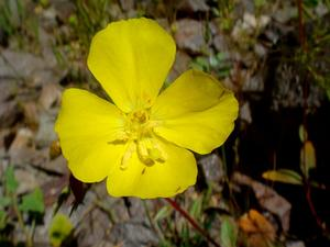 CACA32/Camissonia-californica-20080327_300.JPG