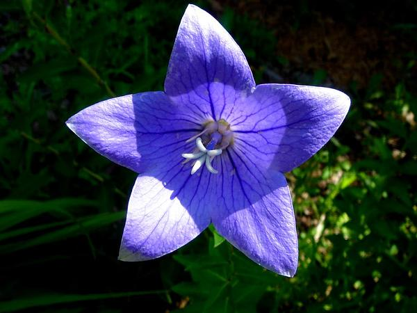 Tussock Bellflower (Campanula Carpatica) http://www.sagebud.com/tussock-bellflower-campanula-carpatica/