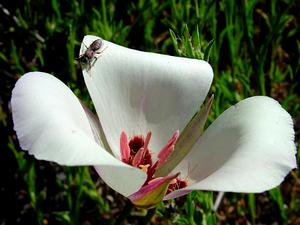 Santa Catalina Mariposa Lily