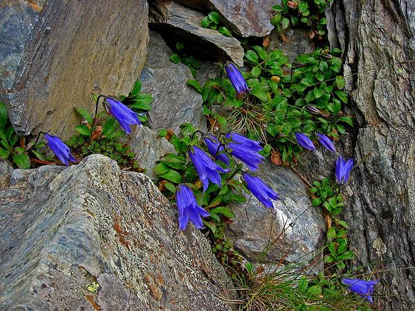 Hairyflower Bellflower (Campanula Chamissonis) http://www.sagebud.com/hairyflower-bellflower-campanula-chamissonis