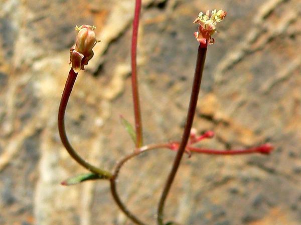 Longcapsule Suncup (Camissonia Chamaenerioides) http://www.sagebud.com/longcapsule-suncup-camissonia-chamaenerioides