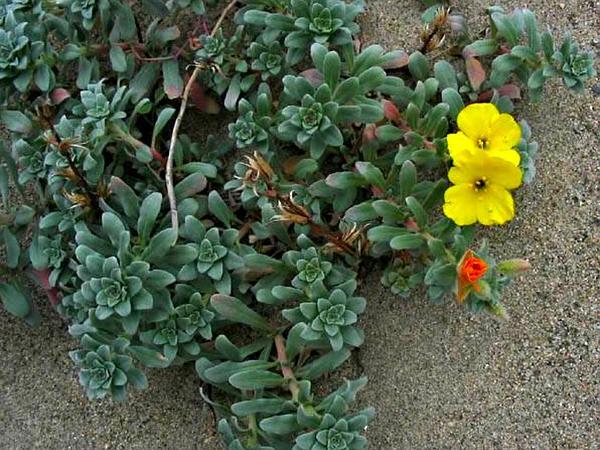 Beach Suncup (Camissonia Cheiranthifolia) http://www.sagebud.com/beach-suncup-camissonia-cheiranthifolia/