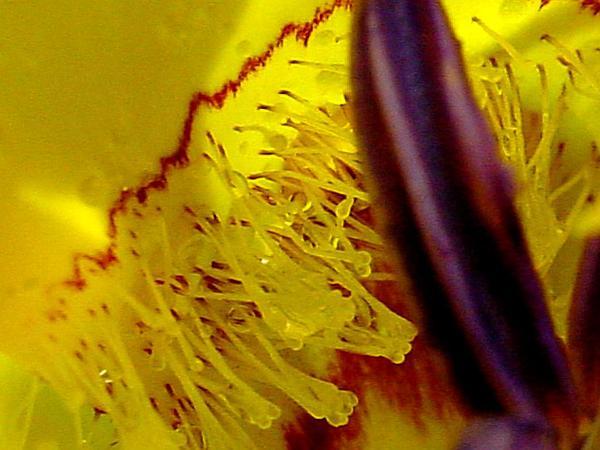Clubhair Mariposa Lily (Calochortus Clavatus) http://www.sagebud.com/clubhair-mariposa-lily-calochortus-clavatus