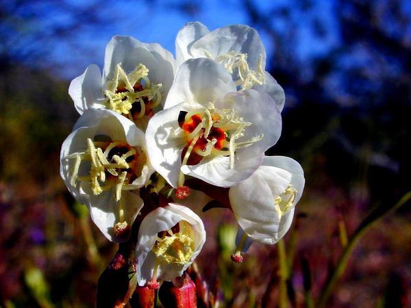 Browneyes (Camissonia Claviformis) http://www.sagebud.com/browneyes-camissonia-claviformis