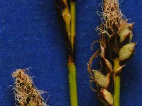 Northwestern Sedge (Carex Concinnoides) http://www.sagebud.com/northwestern-sedge-carex-concinnoides