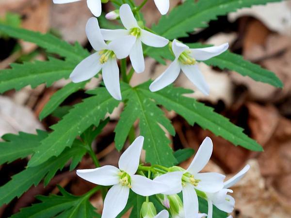 Cutleaf Toothwort (Cardamine Concatenata) http://www.sagebud.com/cutleaf-toothwort-cardamine-concatenata