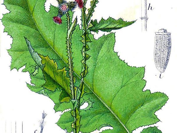 Curly Plumeless Thistle (Carduus Crispus) http://www.sagebud.com/curly-plumeless-thistle-carduus-crispus