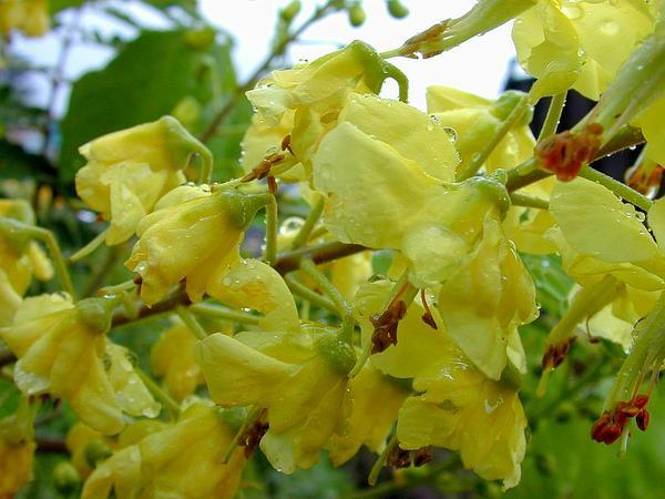Shoofly (Caesalpinia Decapetala) http://www.sagebud.com/shoofly-caesalpinia-decapetala