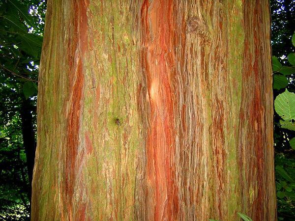 Incense Cedar (Calocedrus Decurrens) http://www.sagebud.com/incense-cedar-calocedrus-decurrens