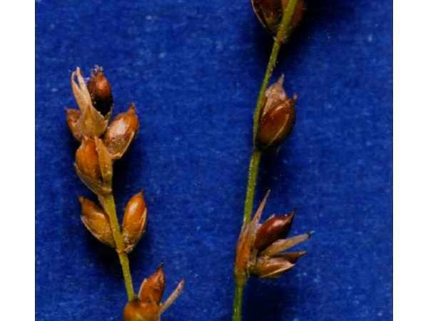 Softleaf Sedge (Carex Disperma) http://www.sagebud.com/softleaf-sedge-carex-disperma