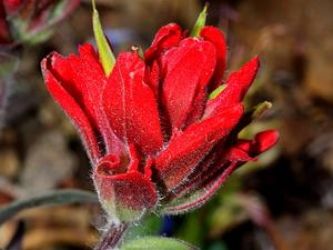 Wenatchee Indian Paintbrush
