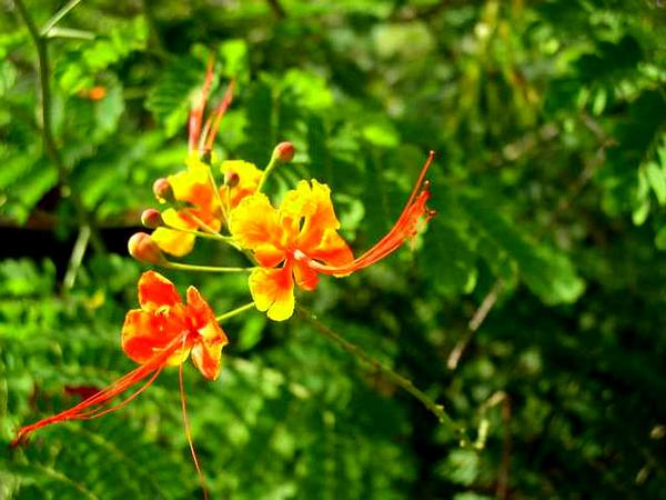 Nicker (Caesalpinia) http://www.sagebud.com/nicker-caesalpinia