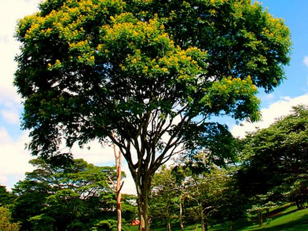 Nicker (Caesalpinia) http://www.sagebud.com/nicker-caesalpinia