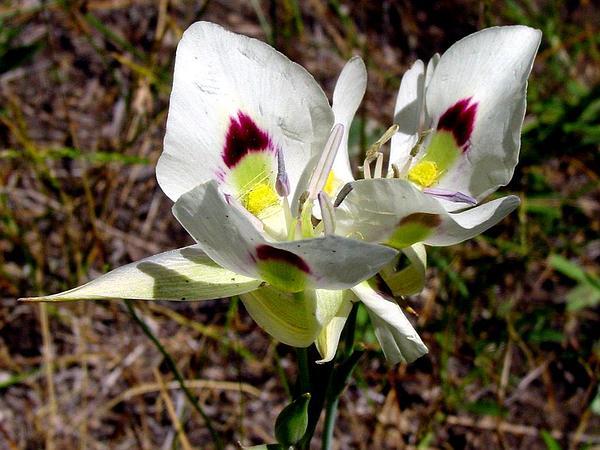 White Mariposa Lily (Calochortus Eurycarpus) http://www.sagebud.com/white-mariposa-lily-calochortus-eurycarpus