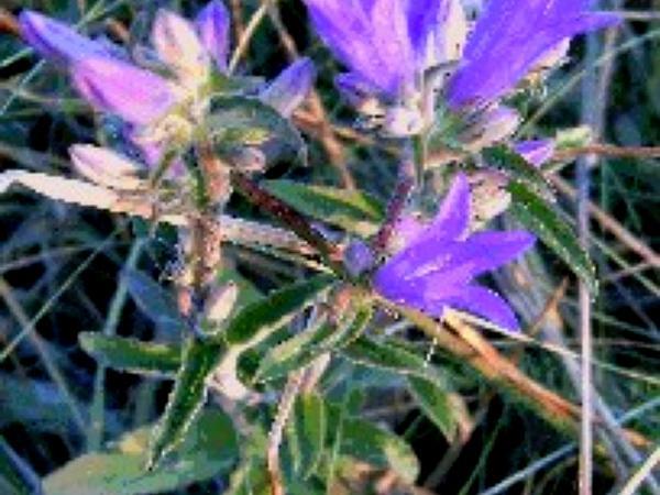 Dane's Blood (Campanula Glomerata) http://www.sagebud.com/danes-blood-campanula-glomerata/