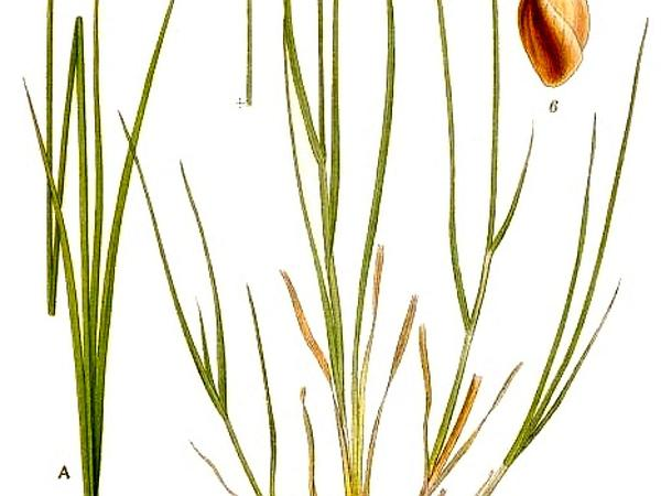 Lesser Saltmarsh Sedge (Carex Glareosa) http://www.sagebud.com/lesser-saltmarsh-sedge-carex-glareosa