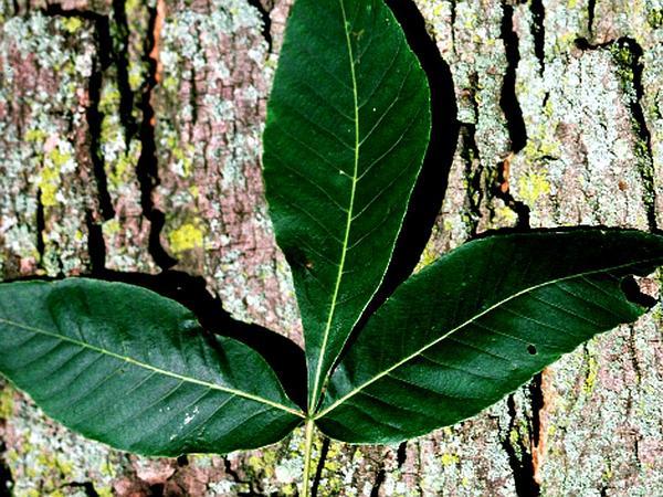 Pignut Hickory (Carya Glabra) http://www.sagebud.com/pignut-hickory-carya-glabra