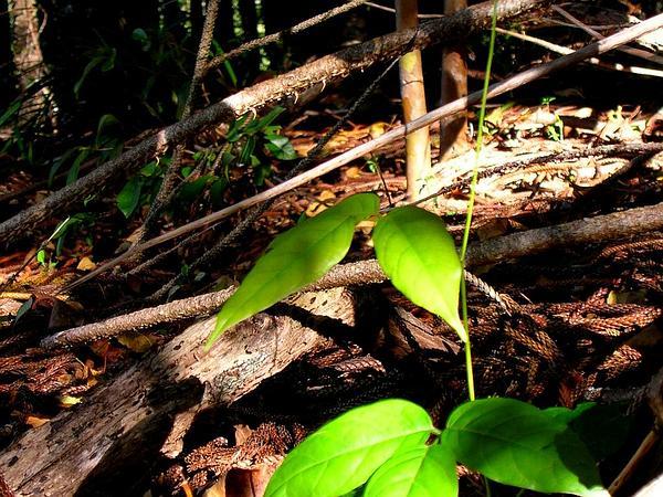 Puakauhi (Canavalia Hawaiiensis) http://www.sagebud.com/puakauhi-canavalia-hawaiiensis