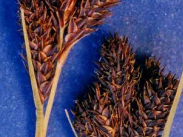 Heller's Sedge (Carex Helleri) http://www.sagebud.com/hellers-sedge-carex-helleri/