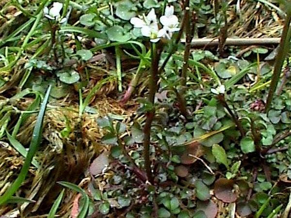 Hairy Bittercress (Cardamine Hirsuta) http://www.sagebud.com/hairy-bittercress-cardamine-hirsuta