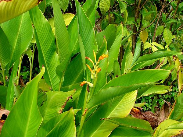 Caribbean Canna (Canna Jaegeriana) http://www.sagebud.com/caribbean-canna-canna-jaegeriana