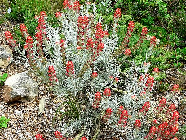 Sierra Woolly Indian Paintbrush (Castilleja Lanata)