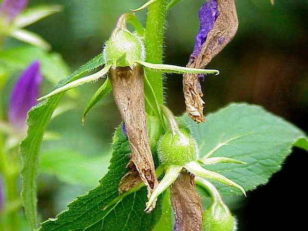 Giant Bellflower (Campanula Latifolia) http://www.sagebud.com/giant-bellflower-campanula-latifolia