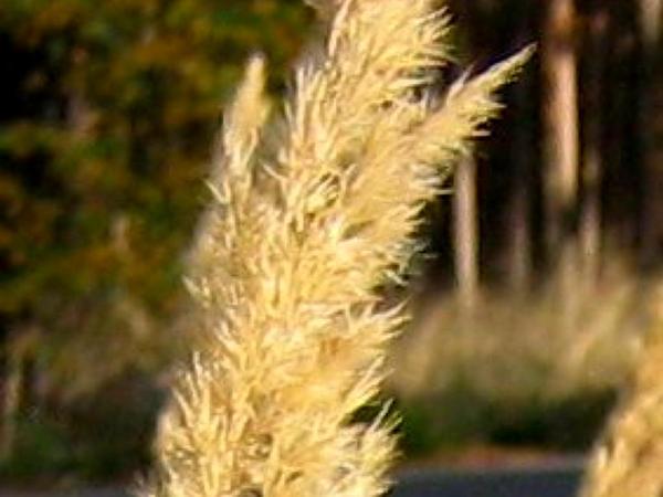 Reedgrass (Calamagrostis) http://www.sagebud.com/reedgrass-calamagrostis