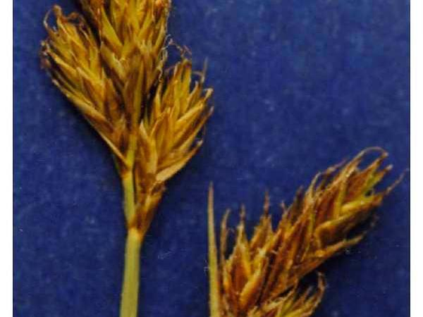 Sierra Hare Sedge (Carex Leporinella)