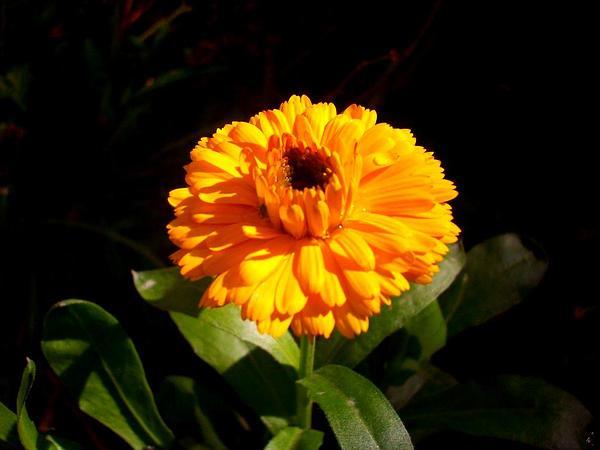 Marigold (Calendula) http://www.sagebud.com/marigold-calendula