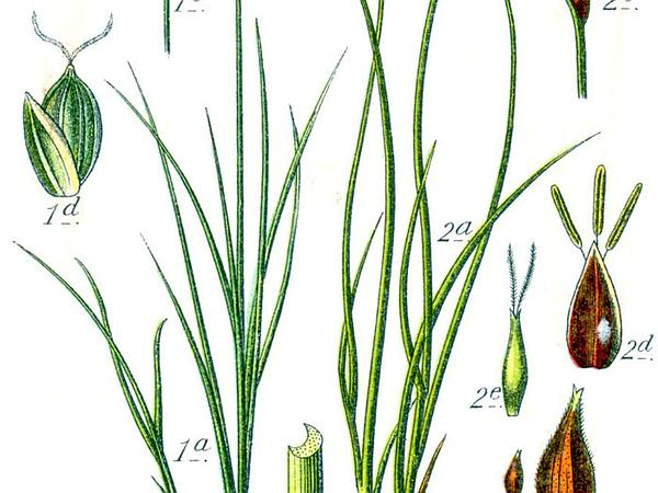 Ryegrass Sedge (Carex Loliacea) http://www.sagebud.com/ryegrass-sedge-carex-loliacea/