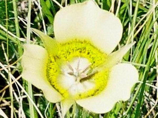Mariposa Lily (Calochortus) http://www.sagebud.com/mariposa-lily-calochortus