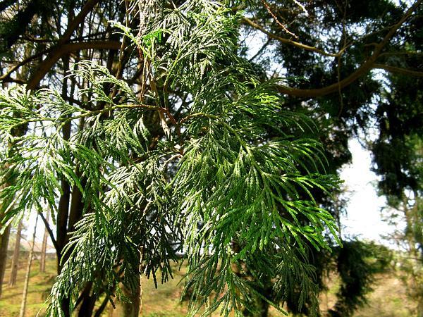 Incense Cedar (Calocedrus) http://www.sagebud.com/incense-cedar-calocedrus
