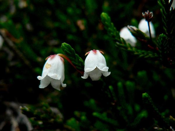 Western Moss Heather (Cassiope Mertensiana) http://www.sagebud.com/western-moss-heather-cassiope-mertensiana