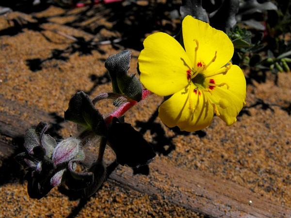 Suncup (Camissonia) http://www.sagebud.com/suncup-camissonia