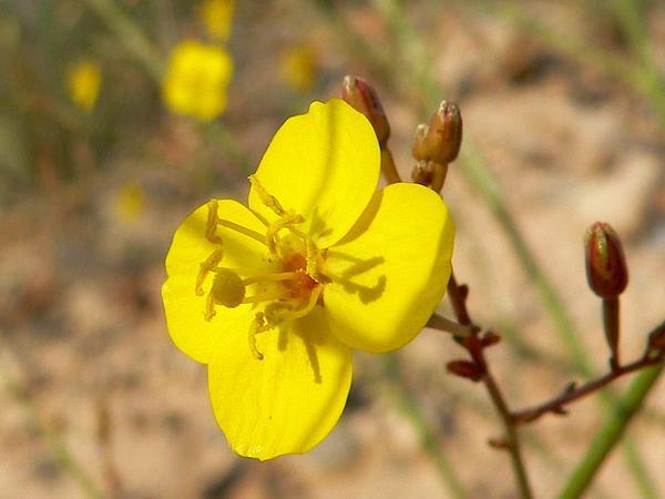 Froststem Suncup (Camissonia Multijuga) http://www.sagebud.com/froststem-suncup-camissonia-multijuga