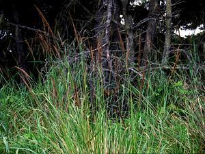 Pacific Reedgrass