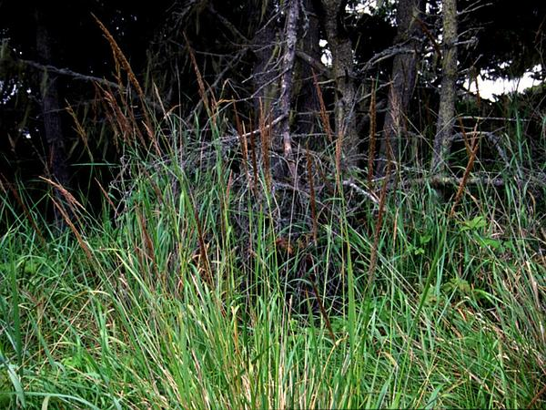 Pacific Reedgrass (Calamagrostis Nutkaensis) http://www.sagebud.com/pacific-reedgrass-calamagrostis-nutkaensis
