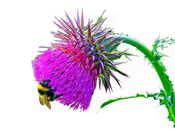 Nodding Plumeless Thistle (Carduus Nutans) http://www.sagebud.com/nodding-plumeless-thistle-carduus-nutans