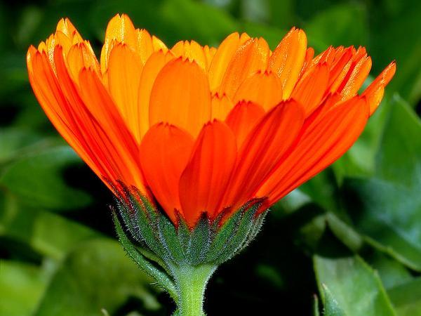 Pot Marigold (Calendula Officinalis) http://www.sagebud.com/pot-marigold-calendula-officinalis