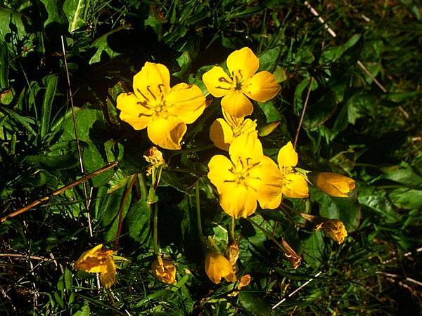 Goldeneggs (Camissonia Ovata) http://www.sagebud.com/goldeneggs-camissonia-ovata